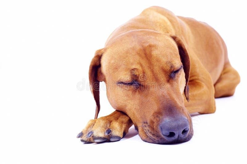 Rhodesian Ridgeback hound sleeping royalty free stock image