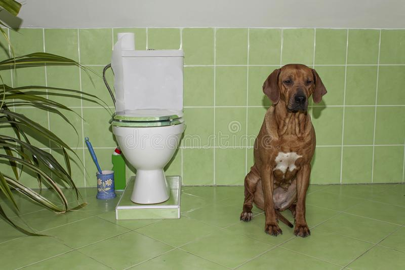 Rhodesian Ridgeback Hund im Badezimmer mit Toilette stockbild