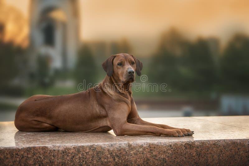 Rhodesian Ridgeback hund på väggen arkivfoton