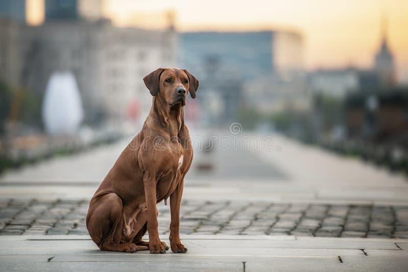 Rhodesian Ridgeback hund på väggen royaltyfri bild