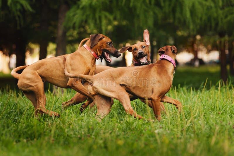 Rhodesian Ridgeback hundkapplöpning som spelar i sommar fotografering för bildbyråer