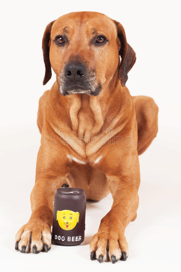 Rhodesian Ridgeback male with beer can stock photography