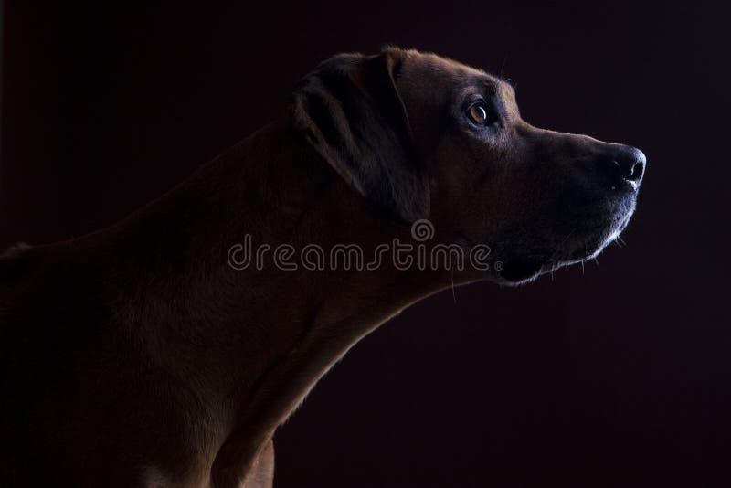 Rhodesian ridgeback male dog, lowkey headshoot