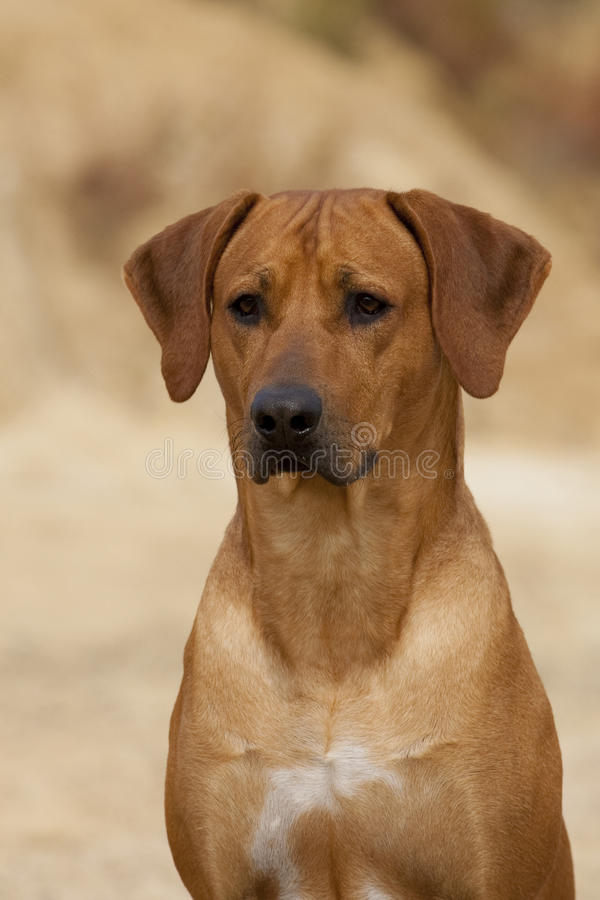 Download Rhodesian Ridgeback Male Portrait Stock Photo - Image: 22059676