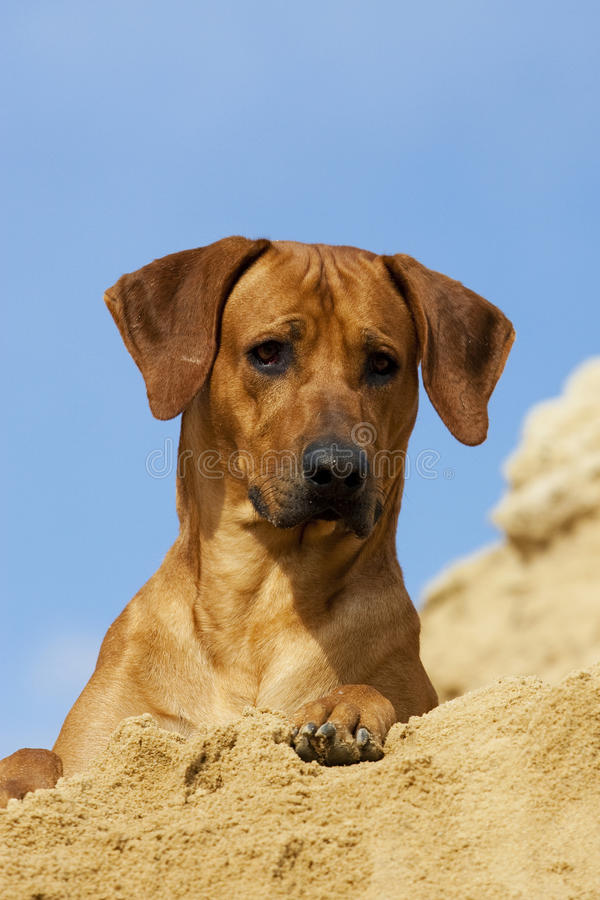 Rhodesian Ridgeback Male Portrait royalty free stock photo