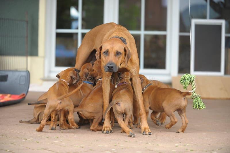 Rhodesian Ridgeback Mum en Puppy royalty-vrije stock foto's
