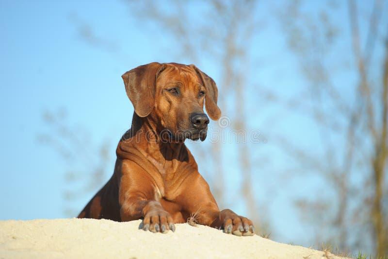 Rhodesian Ridgeback pies w piasku obrazy stock