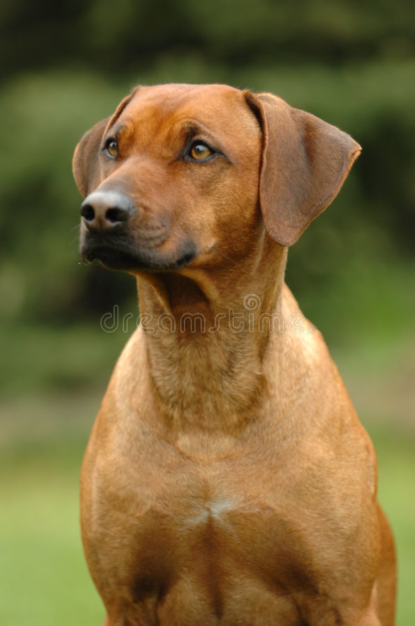 Download Rhodesian Ridgeback Portrait Stock Photo - Image: 2250506