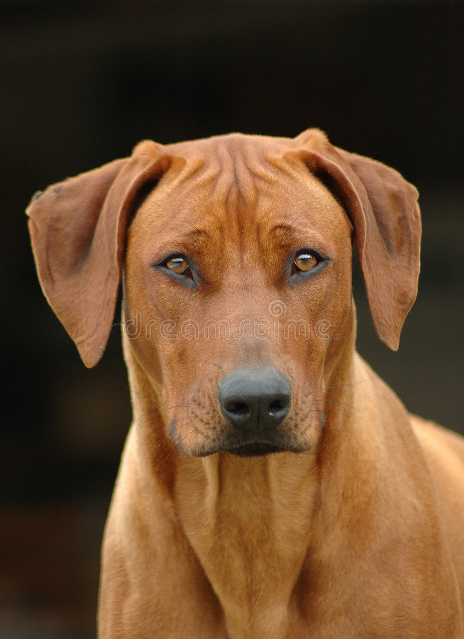 Rhodesian Ridgeback portrait. A beautiful Rhodesian Ridgeback hound dog studio head portrait - national dog of South Africa - with cute expression in the pretty stock photography