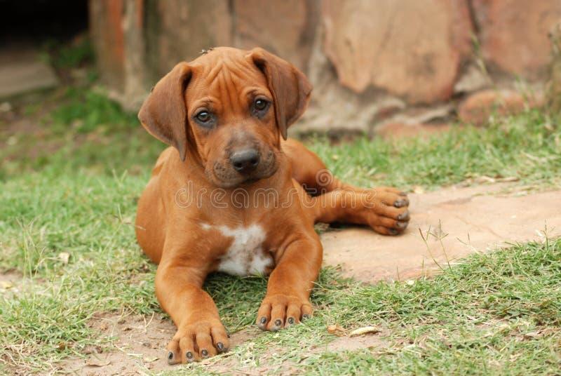 Rhodesian Ridgeback puppy royalty free stock photography