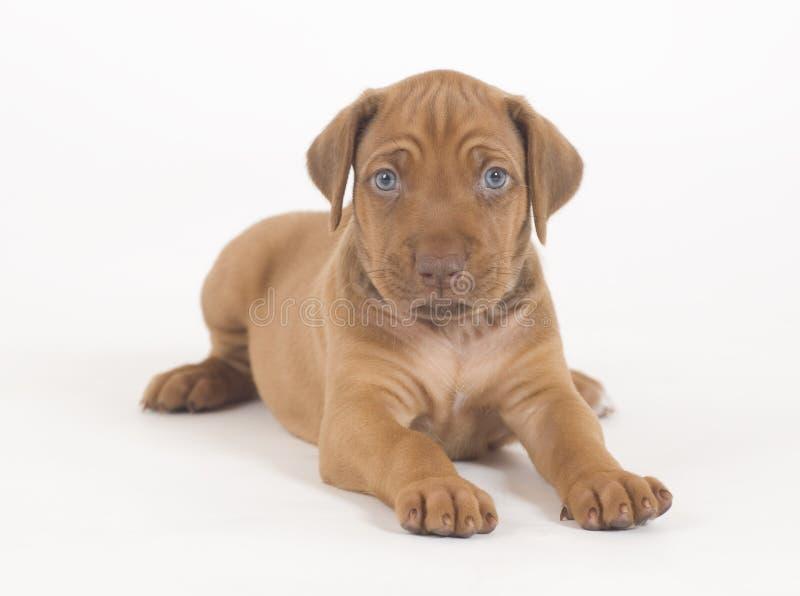 Rhodesian Ridgeback puppy, 5 weeks old, lying stock photos