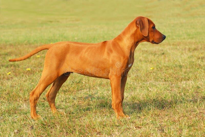 Rhodesian Ridgeback Puppy Stock Images