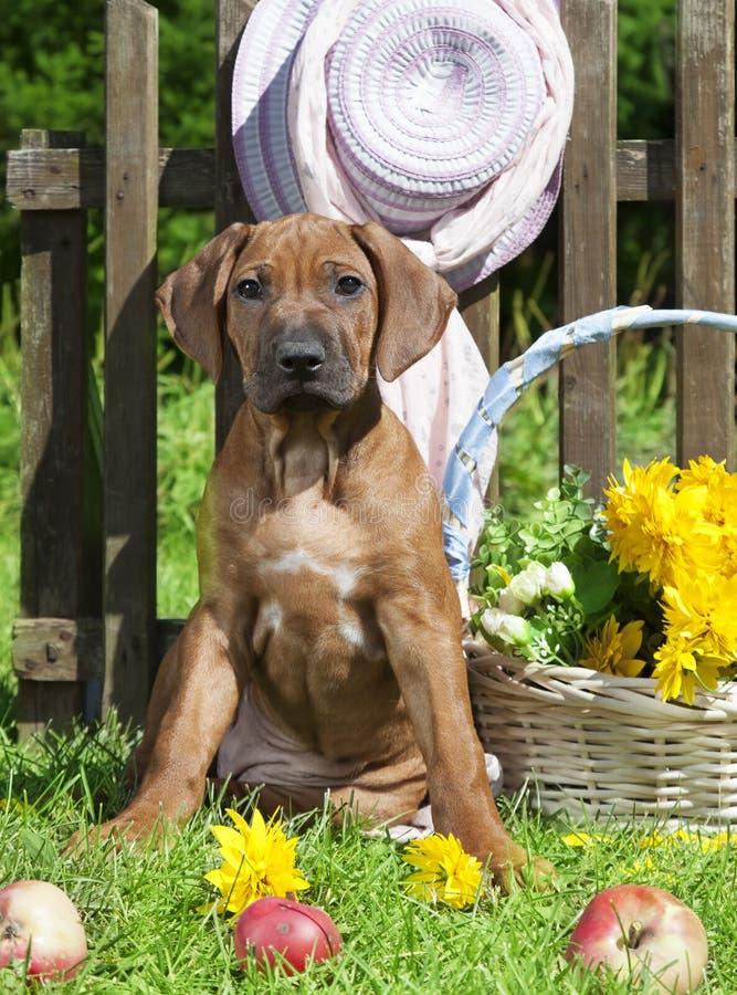 Rhodesian Ridgeback puppy dog royalty free stock photography