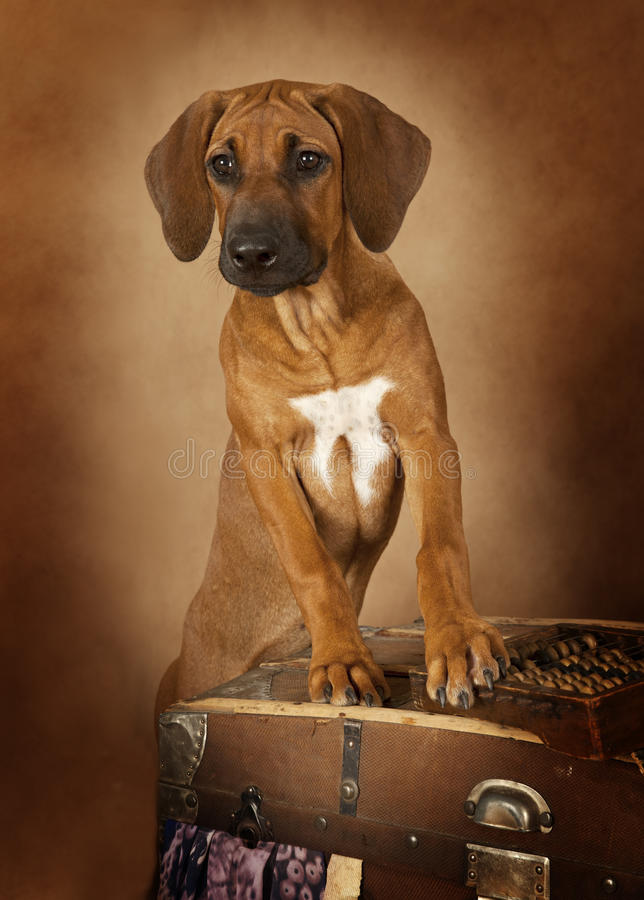 Rhodesian Ridgeback puppy stock photos