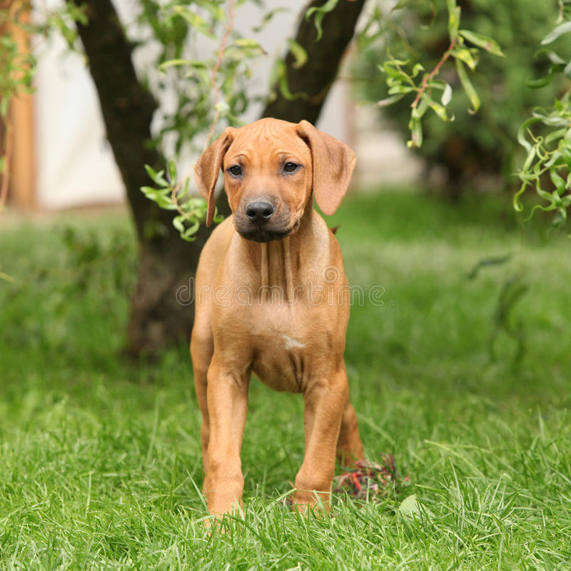 Download Rhodesian Ridgeback Puppy In The Garden Royalty Free Stock Photography - Image: 34248507