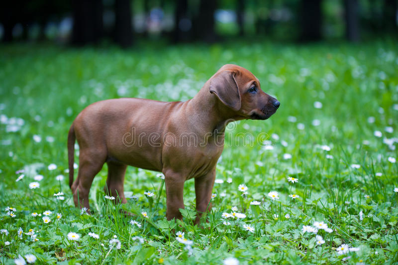 Rhodesian ridgeback puppy outdoors stock photos