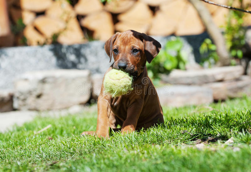 Rhodesian Ridgeback puppy playing with ball royalty free stock photo