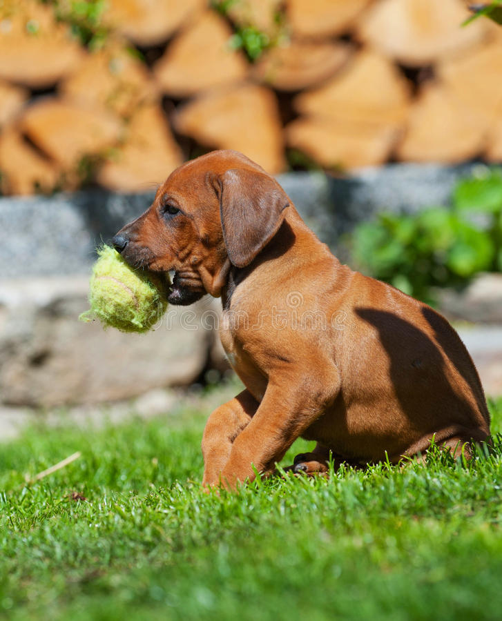 Rhodesian Ridgeback puppy playing with ball royalty free stock images