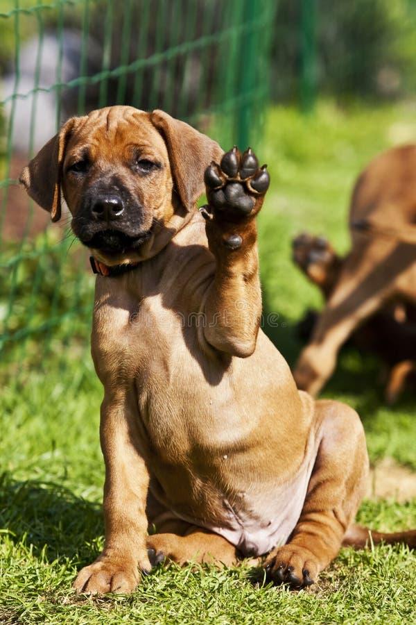 Rhodesian Ridgeback Puppy waving stock images
