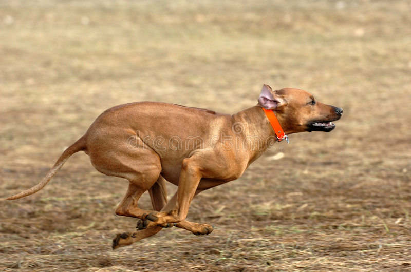 Download Rhodesian Ridgeback Running Stock Photo - Image: 2799246