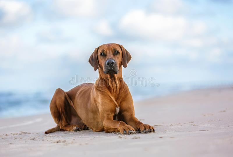 Rhodesian ridgeback on the sea shore royalty free stock photos