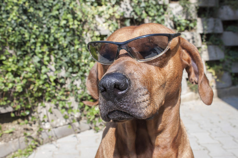 Rhodesian ridgeback with sunglasses. Detail, funny photo stock image