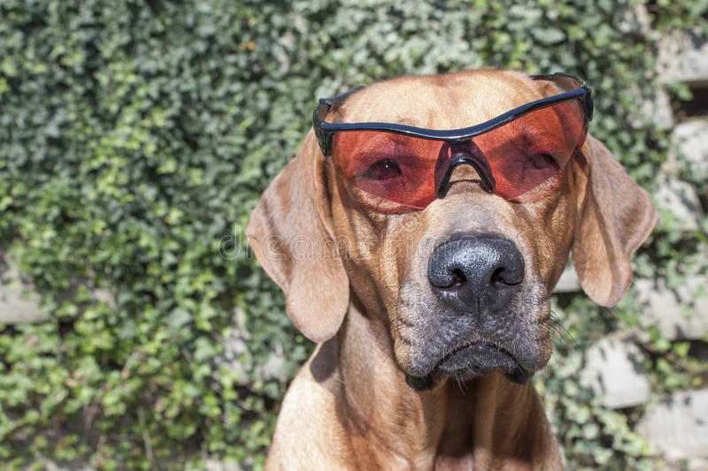 Rhodesian ridgeback with sunglasses. Detail, funny photo royalty free stock photo