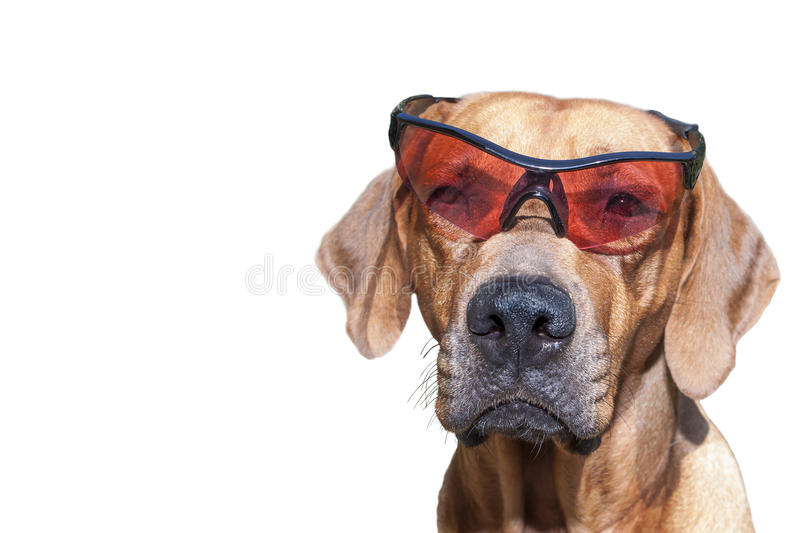 Rhodesian ridgeback with sunglasses, detail, funny photo. Isolated on white stock photos