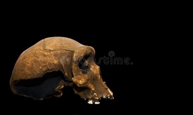 rhodesiensis homo sapiens στοκ φωτογραφίες