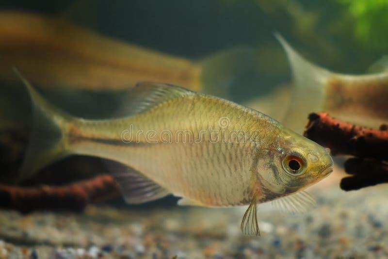 Rhodeus amarus, bitterling europeo, bello maschio adulto ornamentale, piccolo pesce di acqua dolce in acquario del biotopo immagine stock