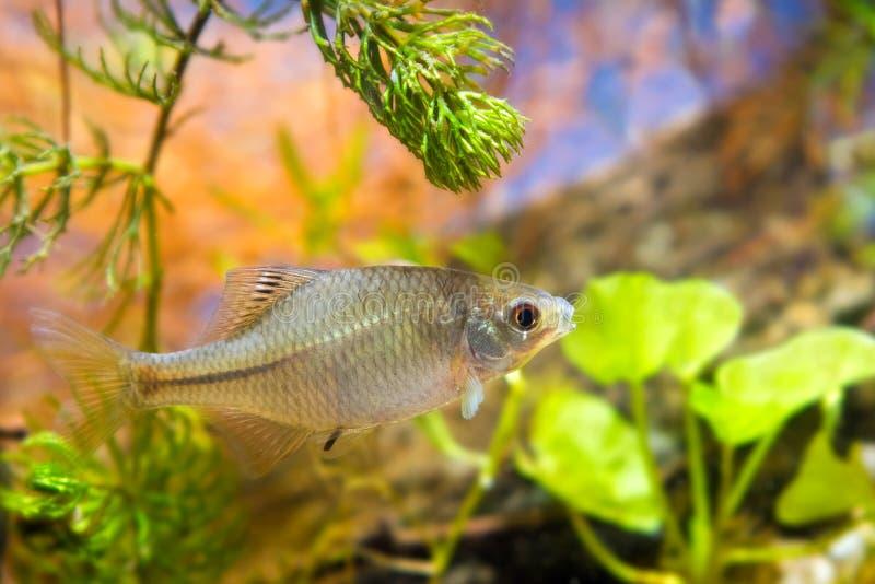 Rhodeus amarus, bitterling europeo, giovane pesce di acqua dolce ornamentale maschio in acquario del biotopo fotografia stock