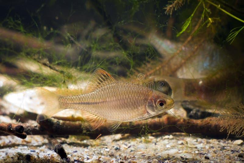Rhodeus amarus, bitterling europeo, piccoli avannotti d'acqua dolce selvaggi diffusi in acquario moderato tipico del biotopo del  immagini stock