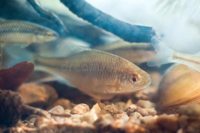 Rhodeus amarus, European bitterling, freshwater fish, nature photo stock photos