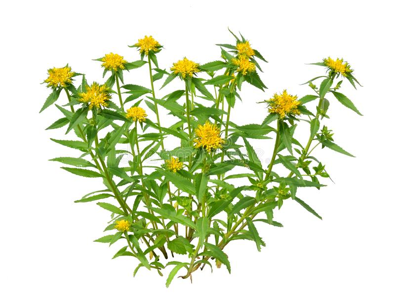 Rhodiola rosea植物共同地金黄根,玫瑰色根, roseroot, 库存照片