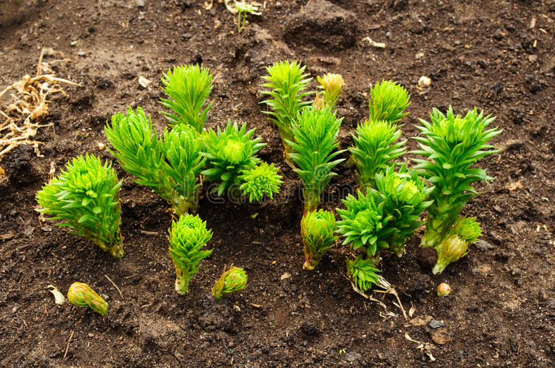 Download Rhodiola rosea stock image. Image of curative, floral - 14180581