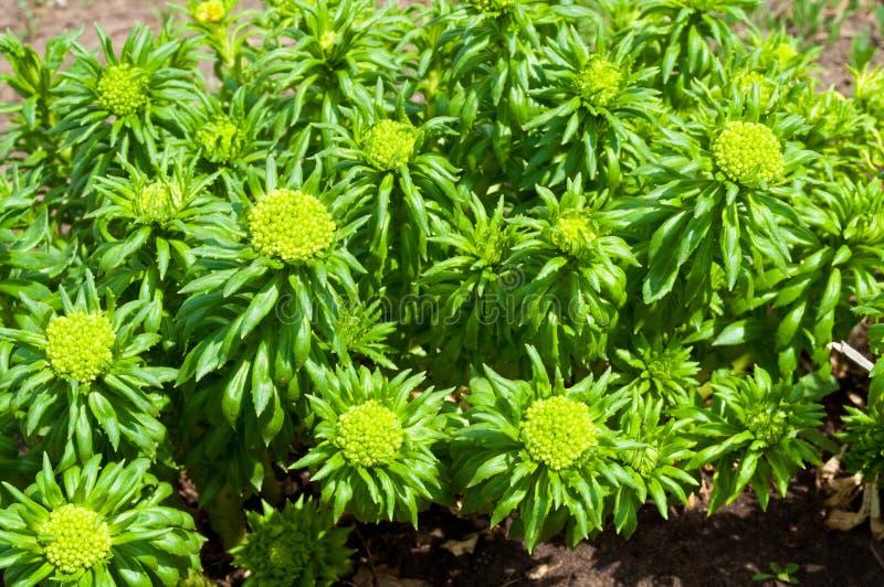 rhodiola rosea 免版税图库摄影