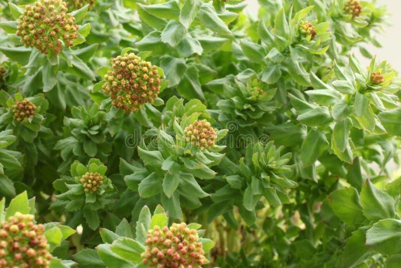 Rhodiola rosea royaltyfria foton