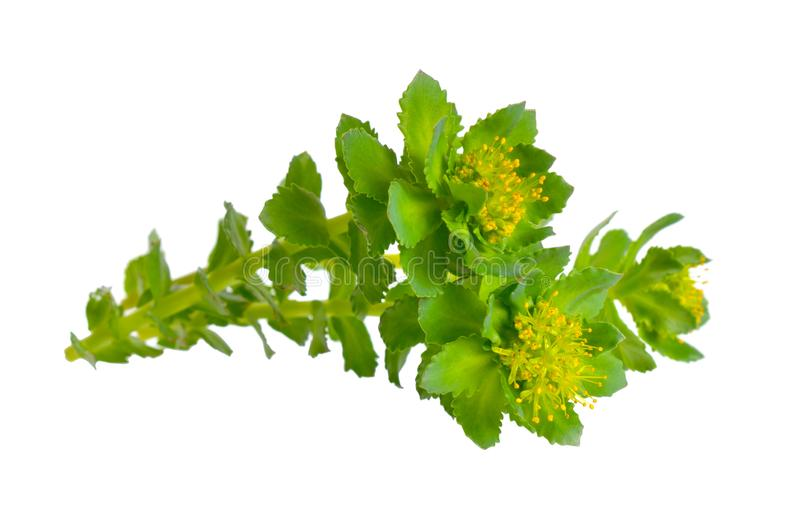 Rhodiola rosea or golden root, rose root, roseroot, Aaron`s rod, Arctic root, king`s crown, lignum rhodium, orpin rose. Isolated stock photography