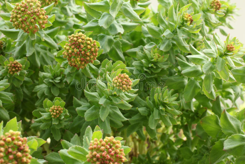 Rhodiola rosea royalty free stock photos