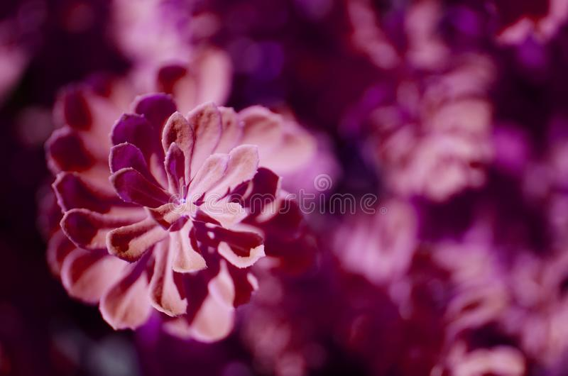 Rhodiola rosea plants outdoors. This flower has strong medical effect. Purple toned photo. stock photos