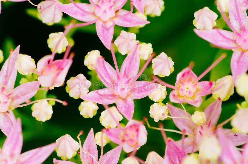 Rhodiola roseablomning, skott för medicinalväxtcloseupmakro fotografering för bildbyråer