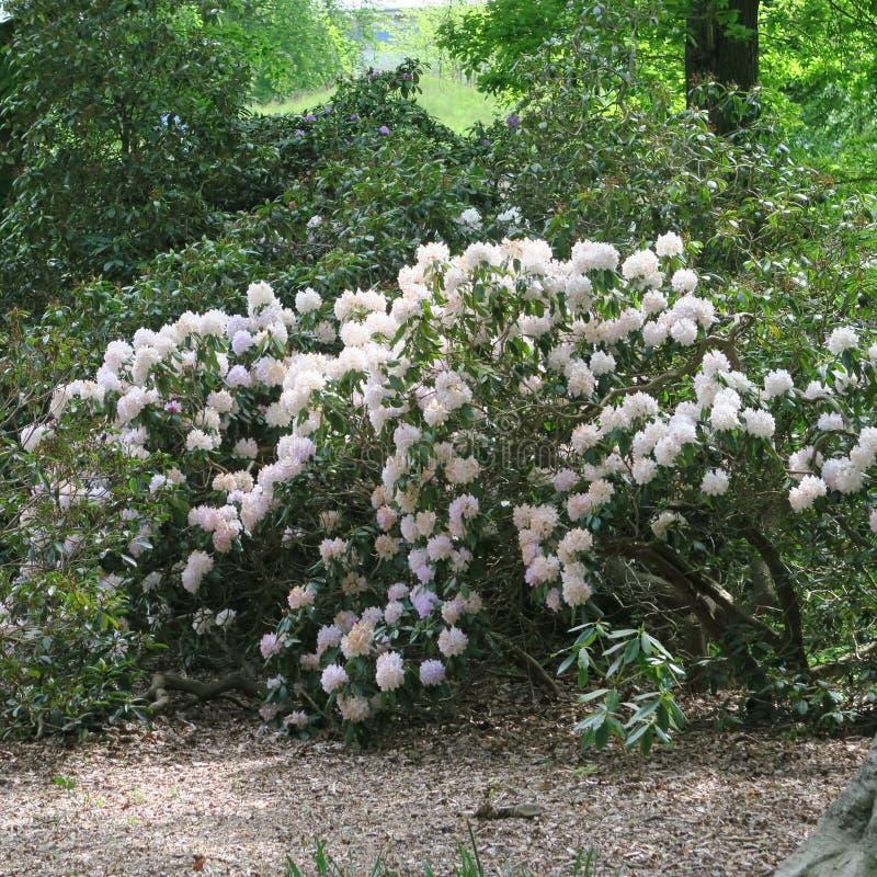 Rhododendren stockbilder