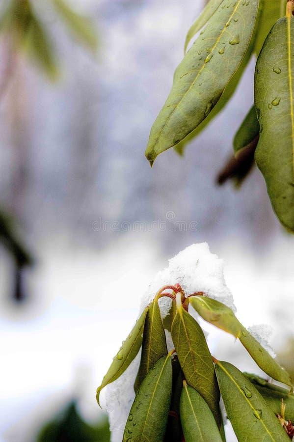 Rhododendren in schmelzendem Schnee stockfoto