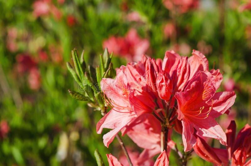 Rhododendren und Azaleen im Garten lizenzfreies stockbild