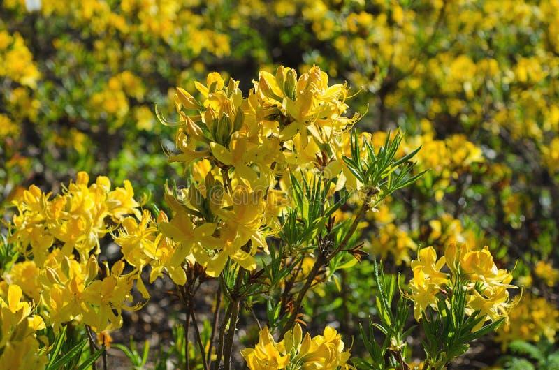 Rhododendren und Azaleen im Garten lizenzfreie stockfotografie