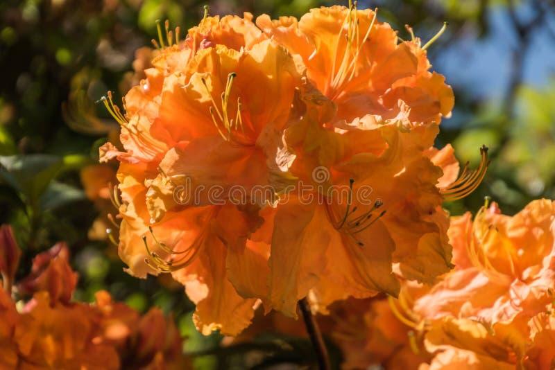 Rhododendren und Azaleengärten lizenzfreies stockbild