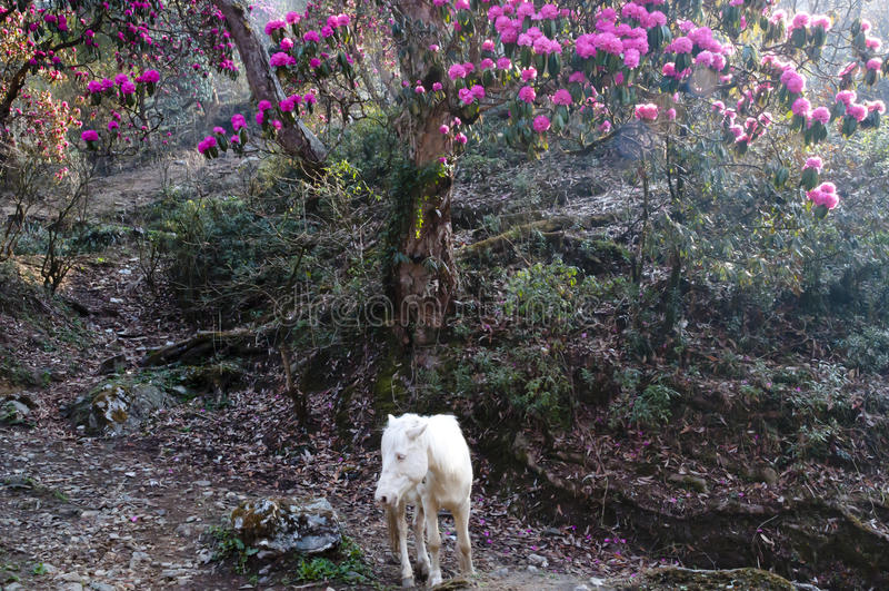 Rhododendron & άλογο - Νεπάλ στοκ εικόνες με δικαίωμα ελεύθερης χρήσης