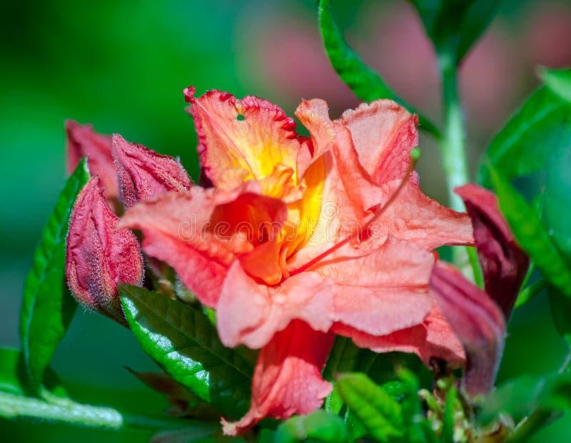 Rhododendron αυξάνεται στο βοτανικό κήπο, στην πλήρη άνθιση στοκ φωτογραφία