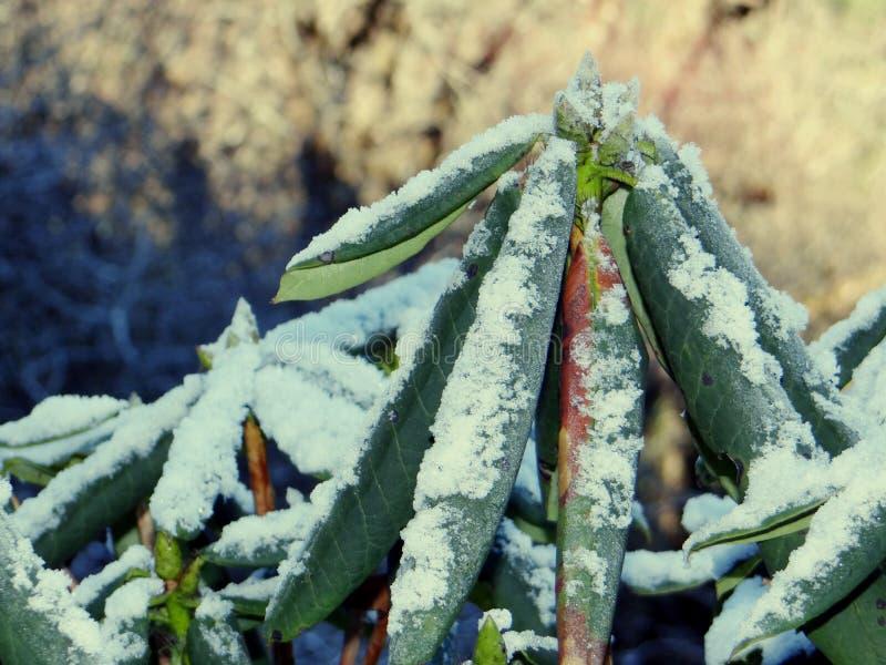 Rhododendron δέντρο που βλαστάνει τον πρόσφατο χειμώνα μετά από το χιόνι στοκ εικόνα με δικαίωμα ελεύθερης χρήσης
