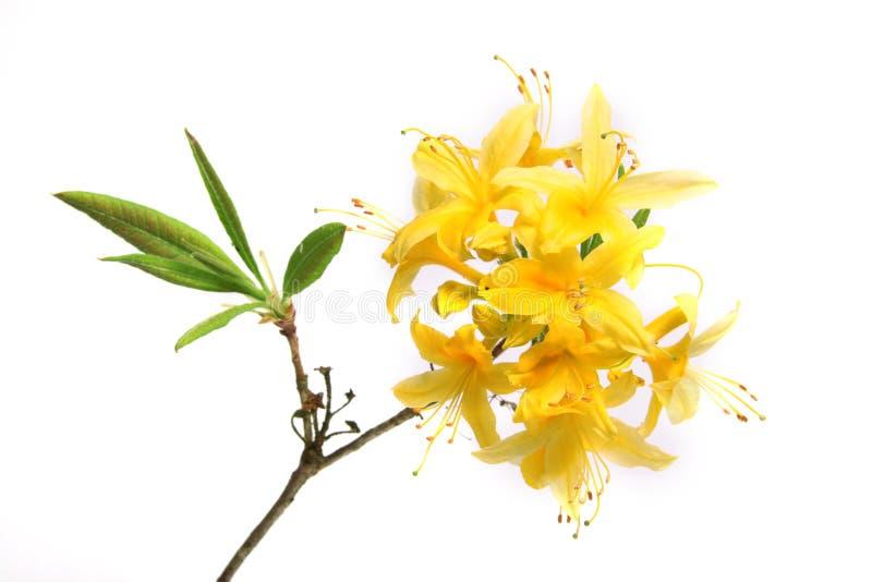 rhododendron κλάδων στοκ φωτογραφία